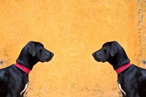 Twin Big Dane Dogs