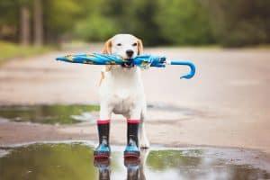 beagle dog in rain boots