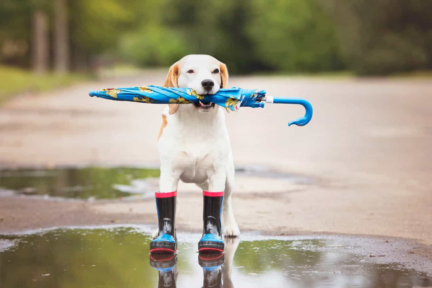 beagle dog in rain boots