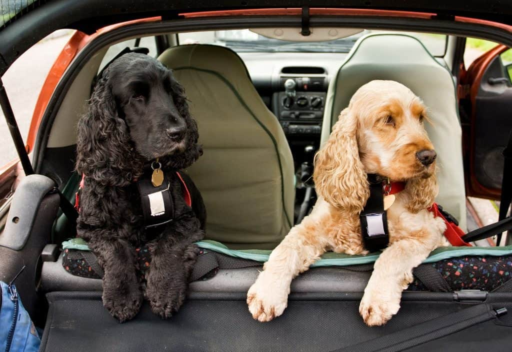 two poodles in the rea of a car wearing dog car harness