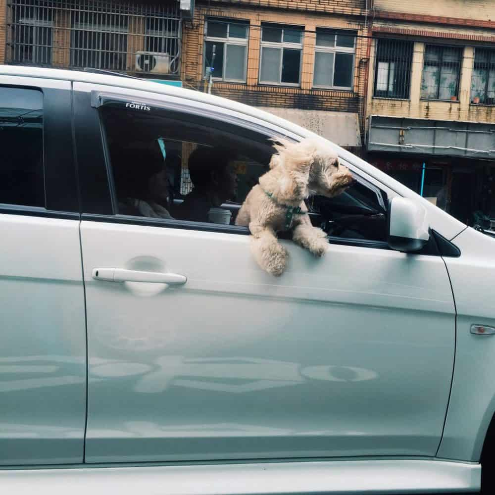 poodle leaning out of a car window