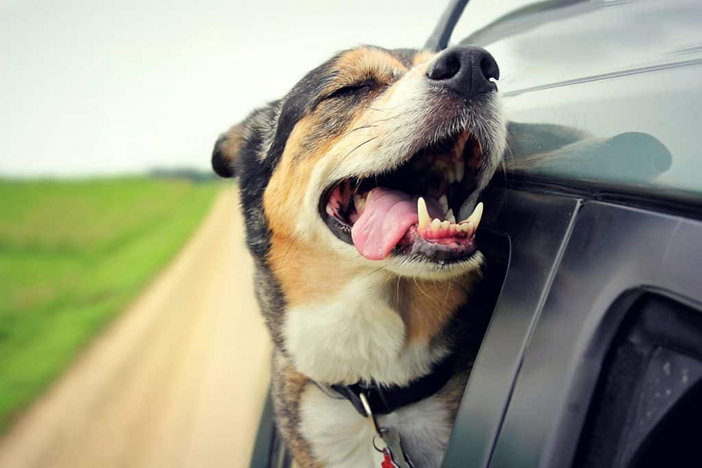Dog hanging its head out of a car window