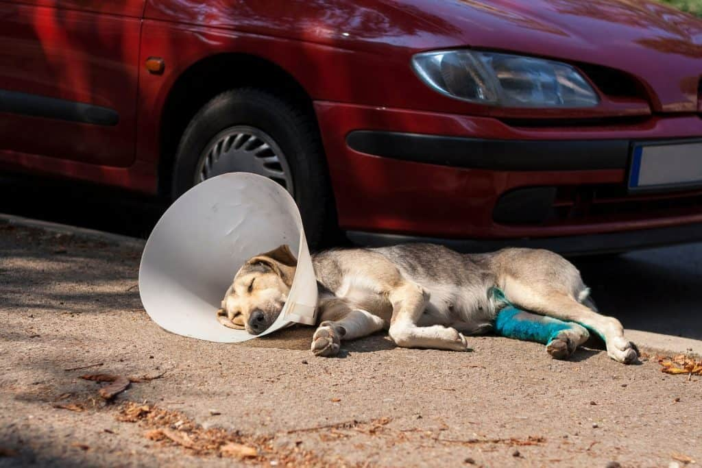 Dog in neck brace laying on the pavement next to a red car