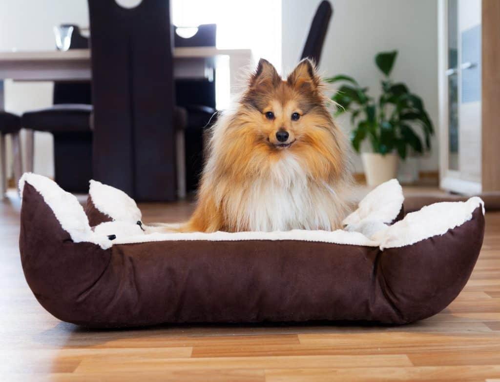 Sheltie Hund im Körbchen, dog in baske