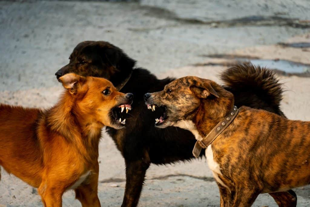 Brown dogs are fighting on the streets.