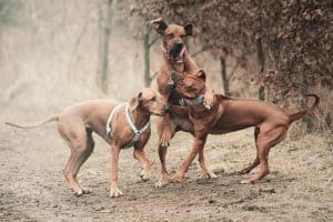 Two beautiful young dogs one old dog attack, rhodesian ridgeback