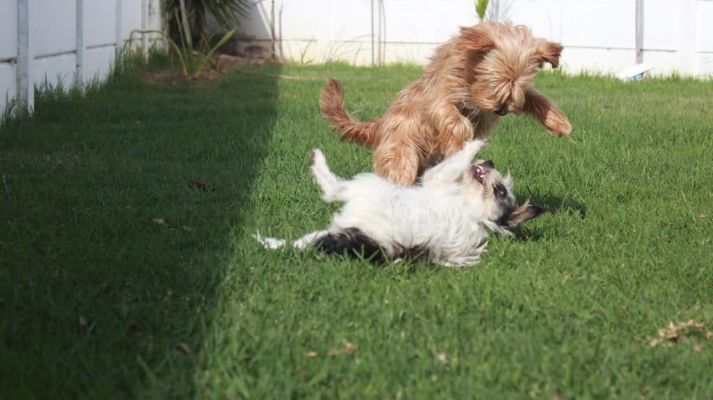 two dogs playing fough on the grass