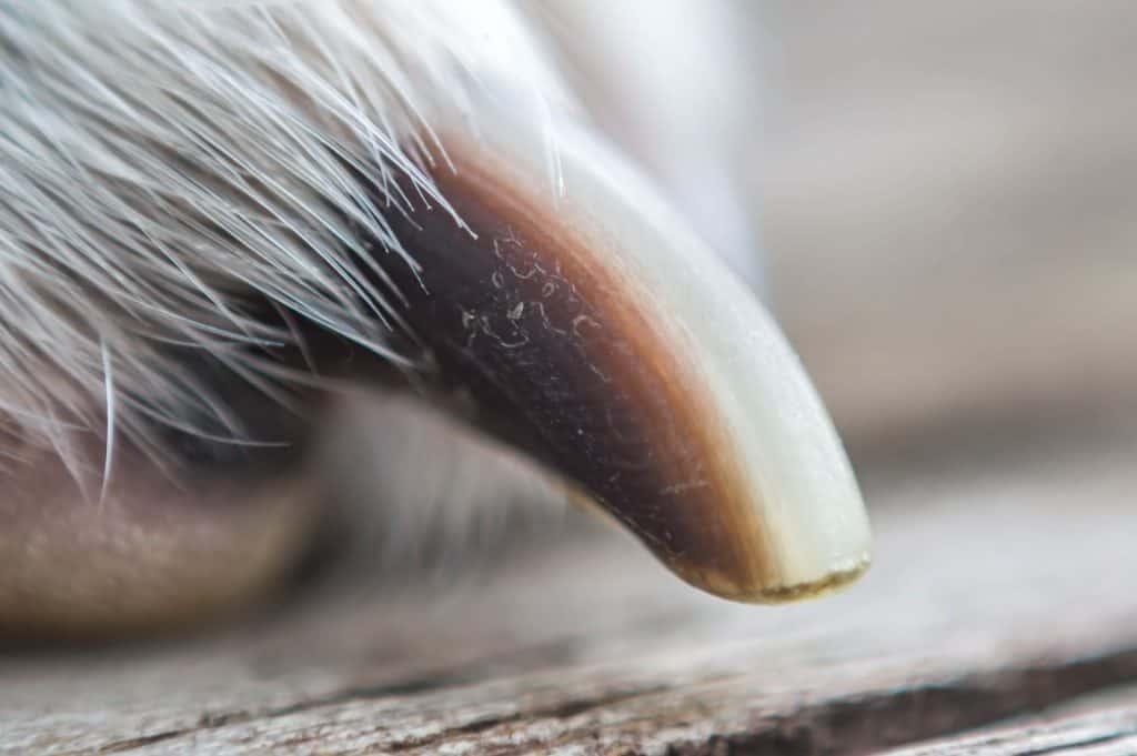 Long dog nail