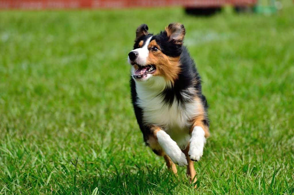 appy dog, running and having fun