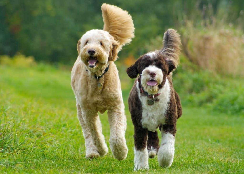 two curly hair dogs running side by side in an open green field
