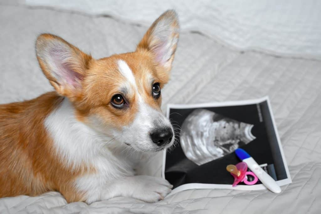 dog laying on a bed net to a baby pacifier and baby scan and pregnancy test kit