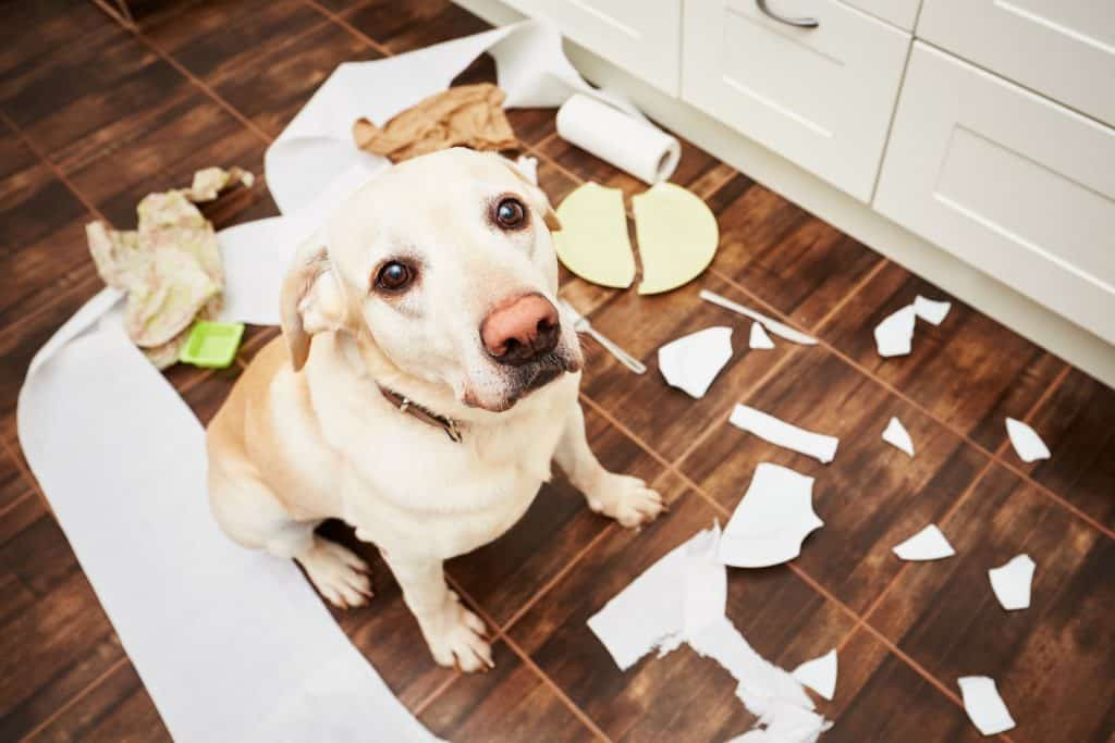Dog looking mischievous with broken plate and messy room
