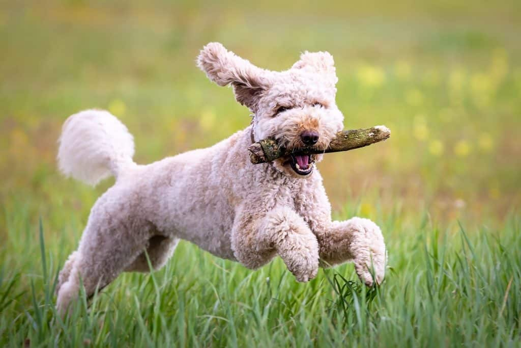 dog with curly hair running in the grass with a stick in its mouth