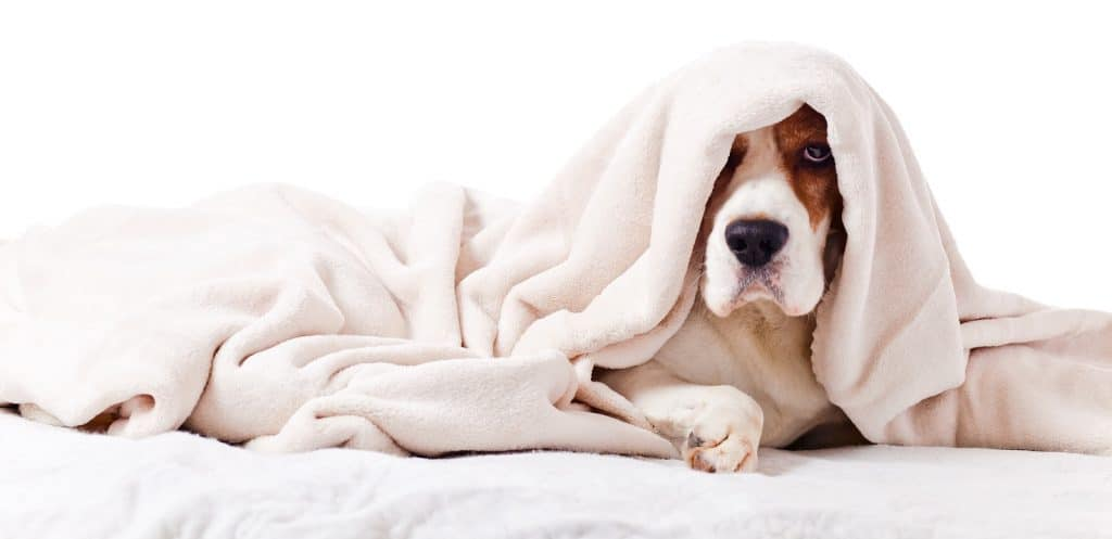 dog with a blanket over its head