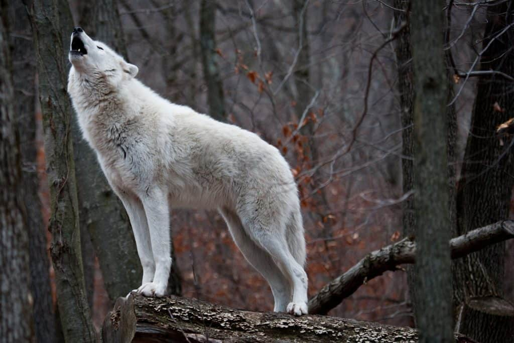 a white wolf howling in the forest