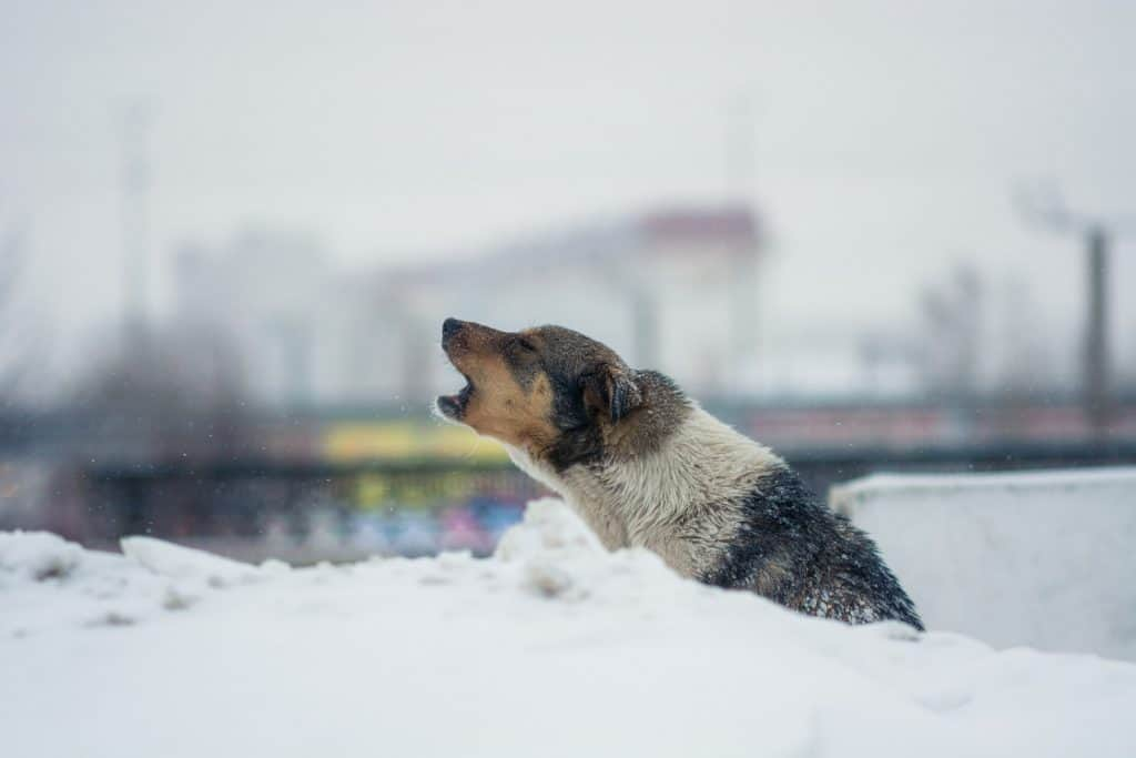 a dog on the snow howling