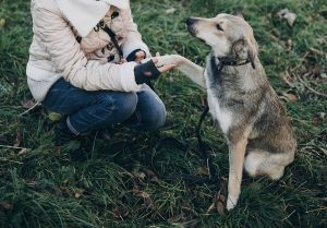 Cute gray dog with funny emotions in park giving paw to owner. Dog shelter. Adoption concept. Woman petting and playing with scared homeless dog in city street