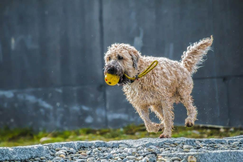dog playing alone with ball in its mouth