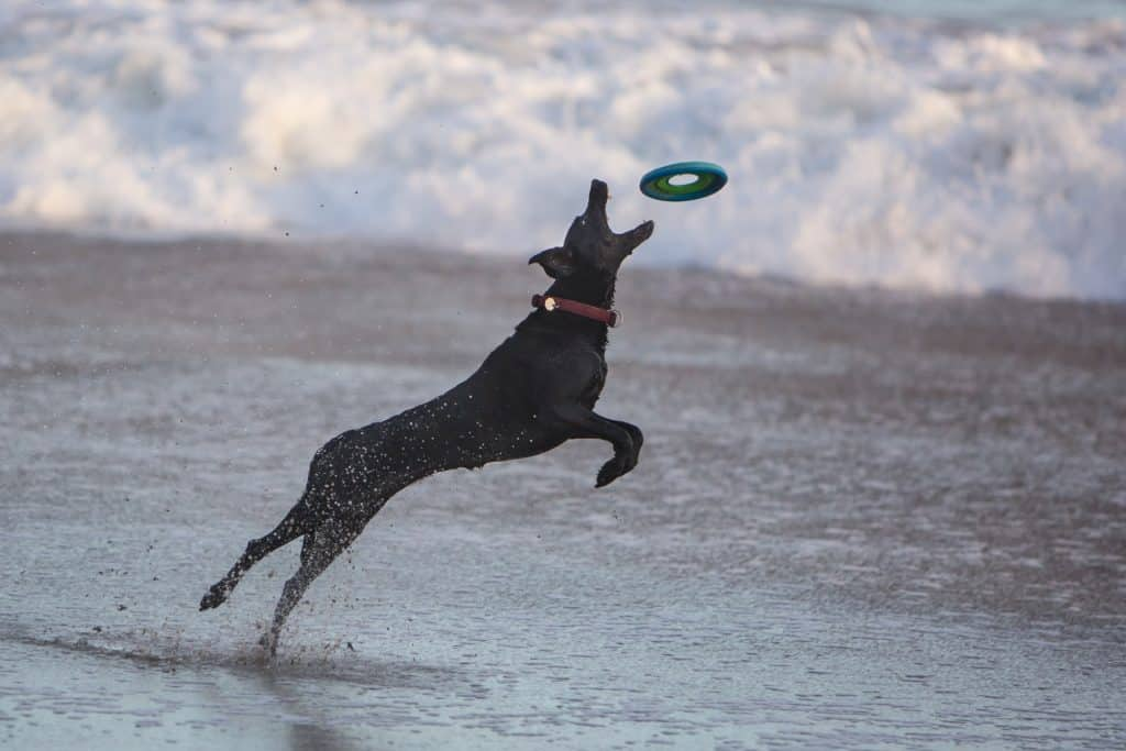 dog on the beach catching a frisby