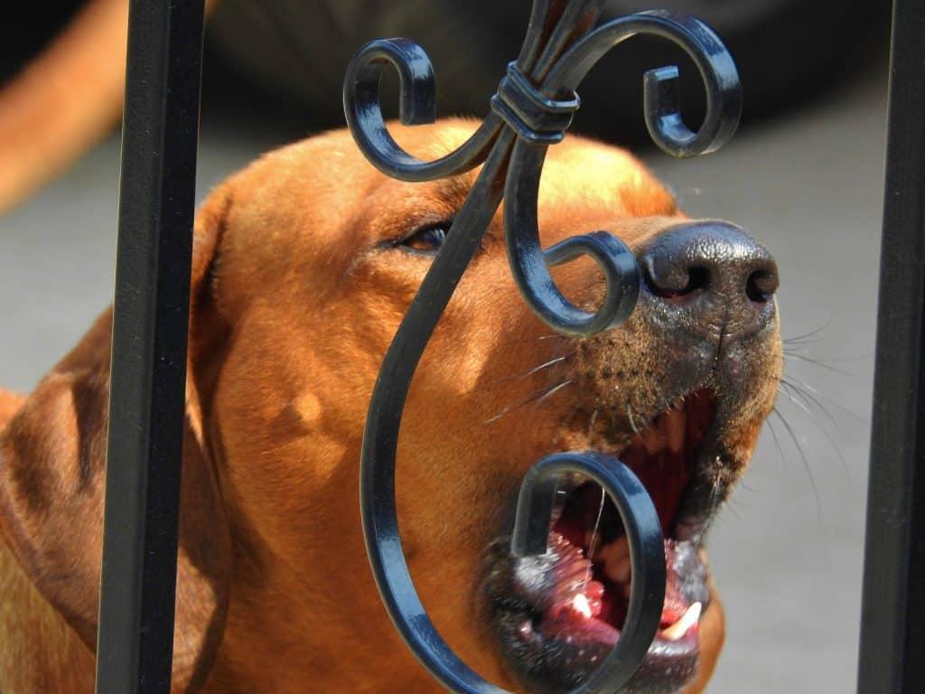 Barking dog behind fence
