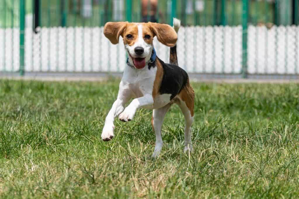 Beagle dog with rolled floppy ear running in grass with a happy smiley face