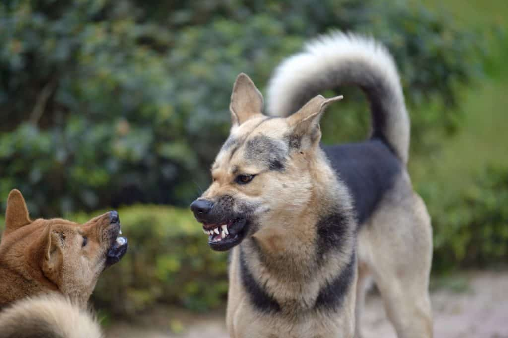 Two dogs face off and snarle aggressively snarl at each other
