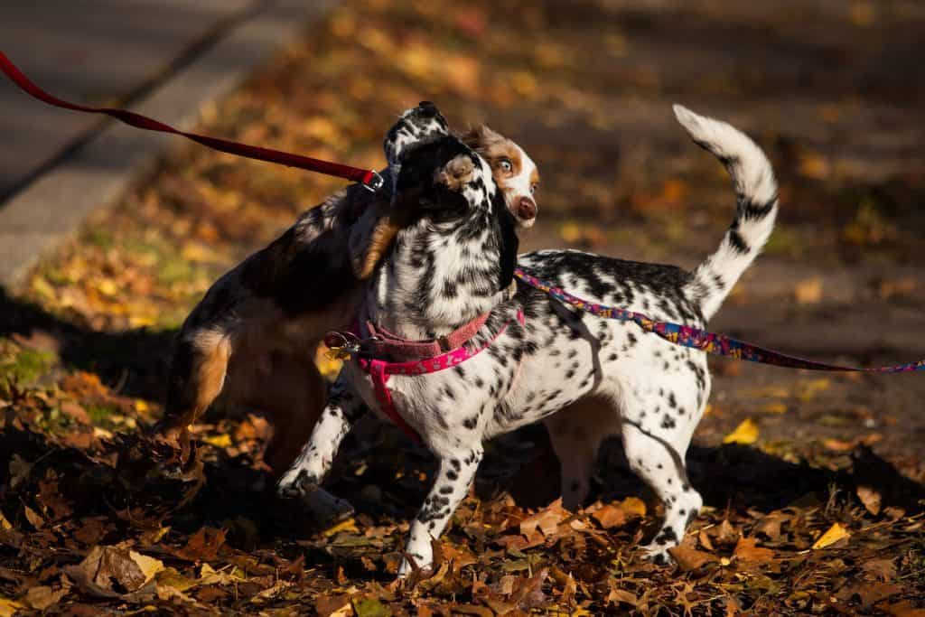 two puppy dogs on leashes playing together