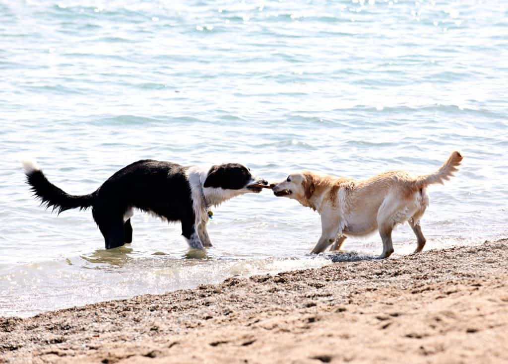 two dogs on the beach in water using their mouth to play tug of war