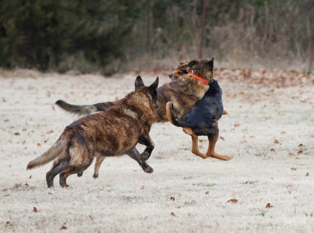 Three big dogs playing agressively
