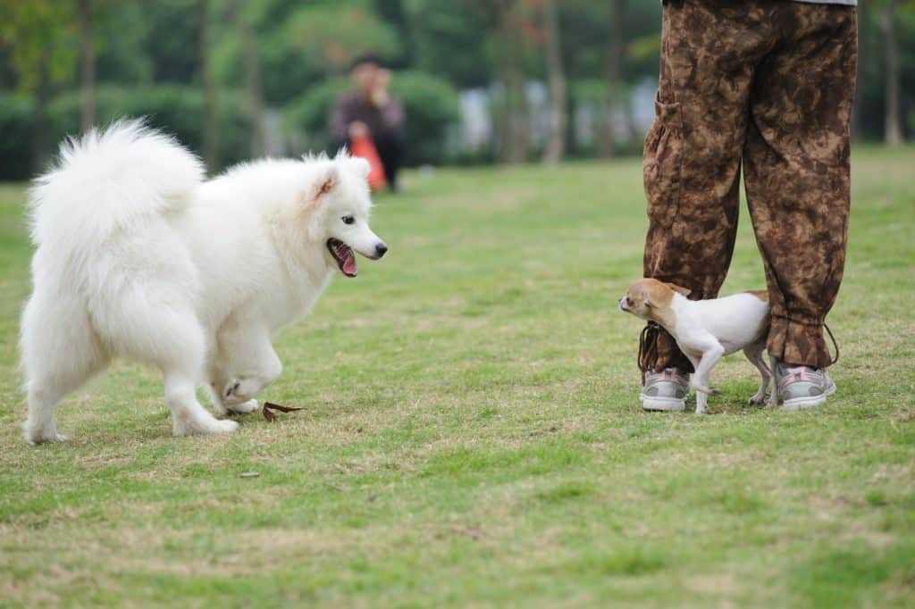 big white dog trying to play smaller dog.