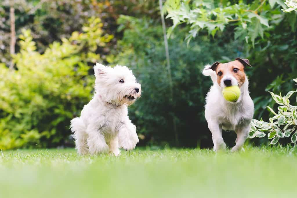 Two small dogs side by side running in a green field. One dog with a tennis ball in its mouth
