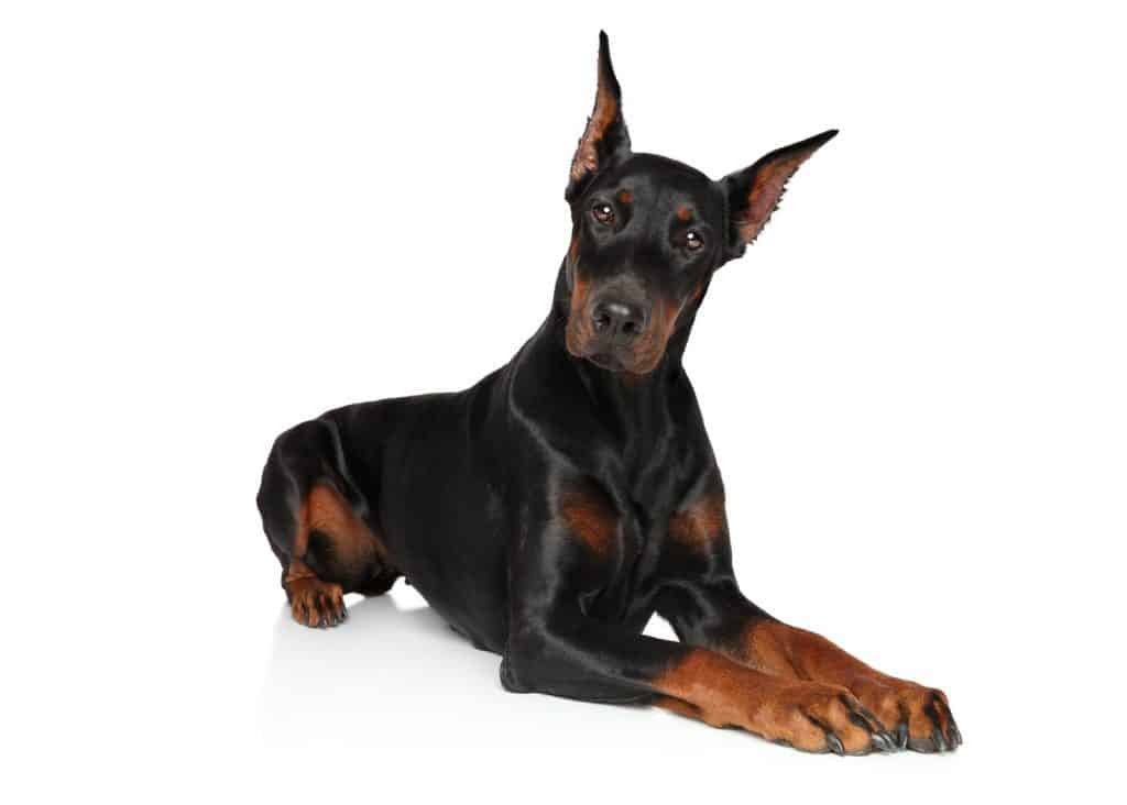doberman with pointed ears