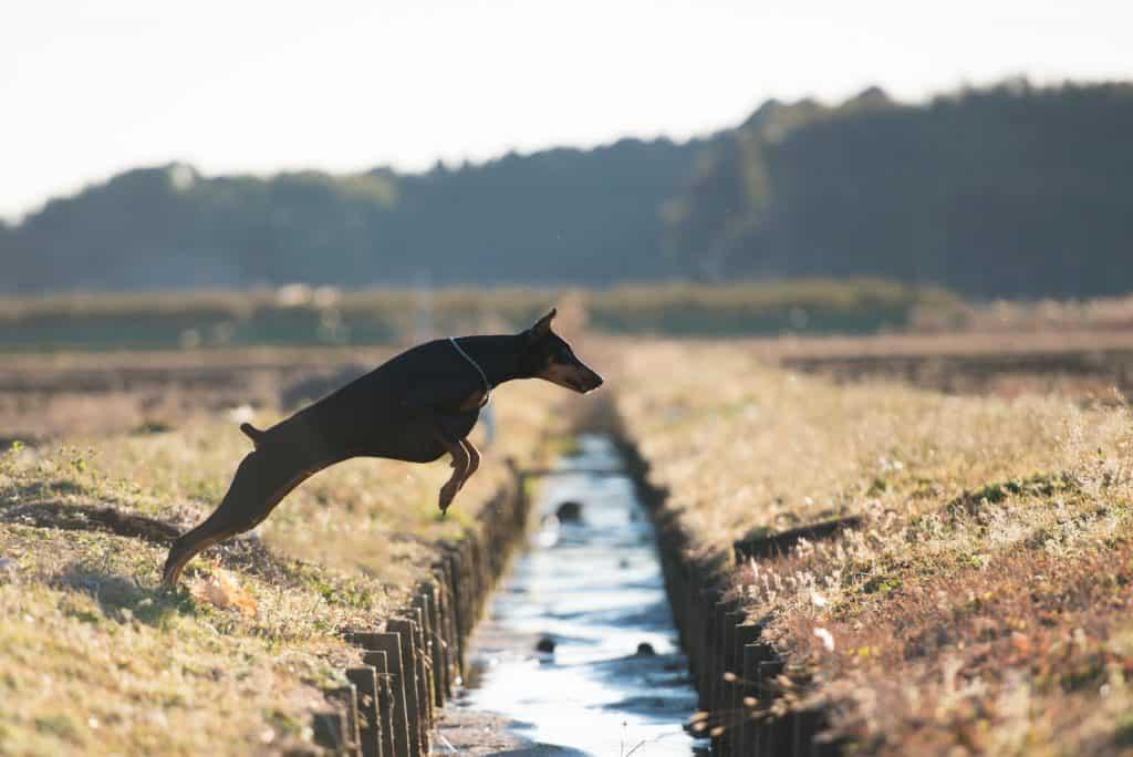 Doberman jumping over the waterway