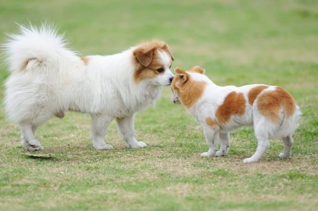 two small dogs in a park face off while playing