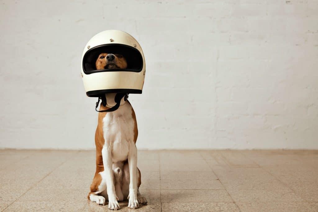 dog with an helmet on its head