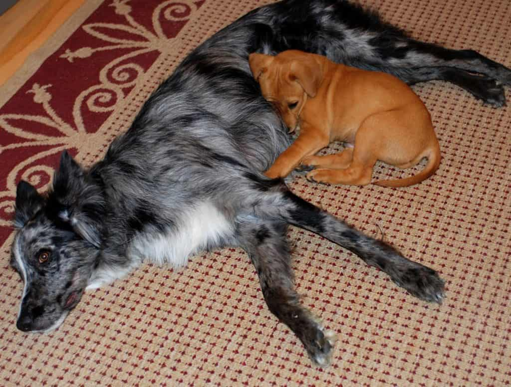 brown puppy laying down on a full grown dog
