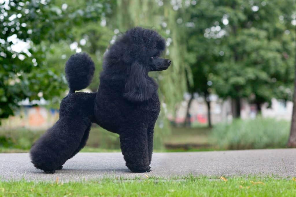 medium size poodle black poodle after grooming