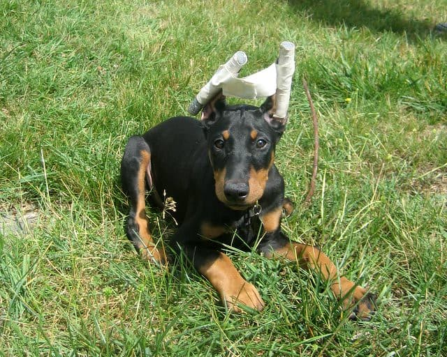 Doberman with tapped cropped ears