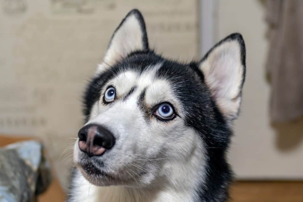 beautiful Siberian husky dog. Blue-eyed husky dog looks closely at the top with blue eyes