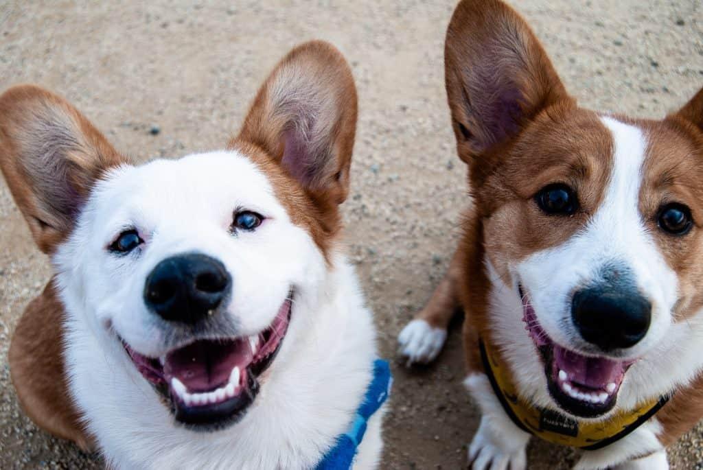 happy corgies smiling