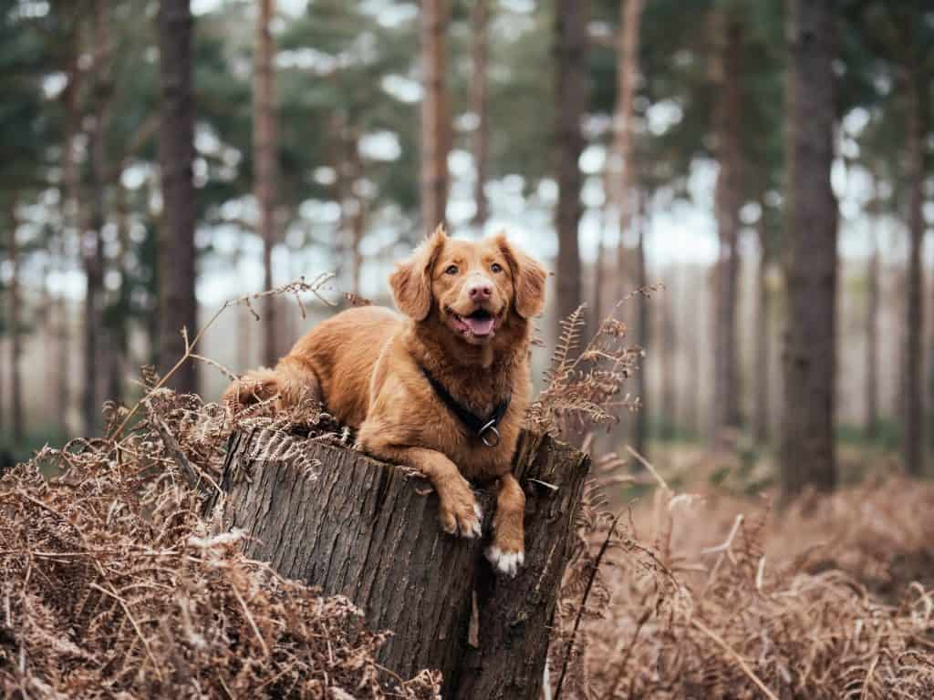 brown long haired dog in the wood resting on a log