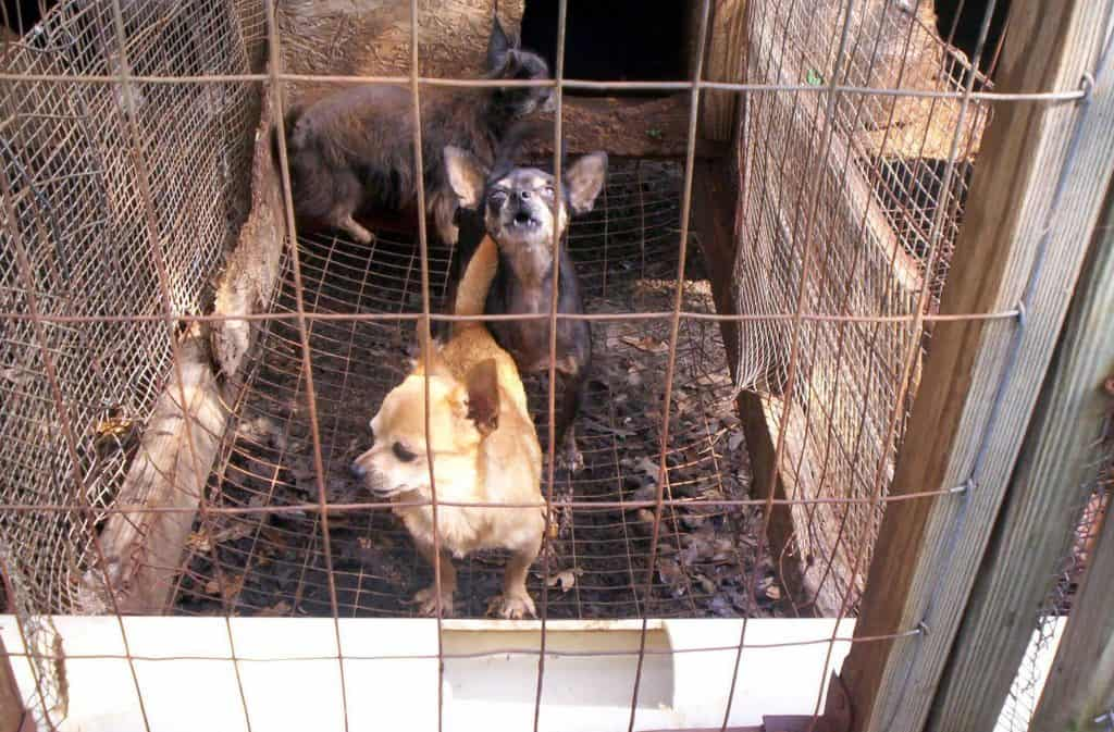 neglected dogs in a puppy mill
