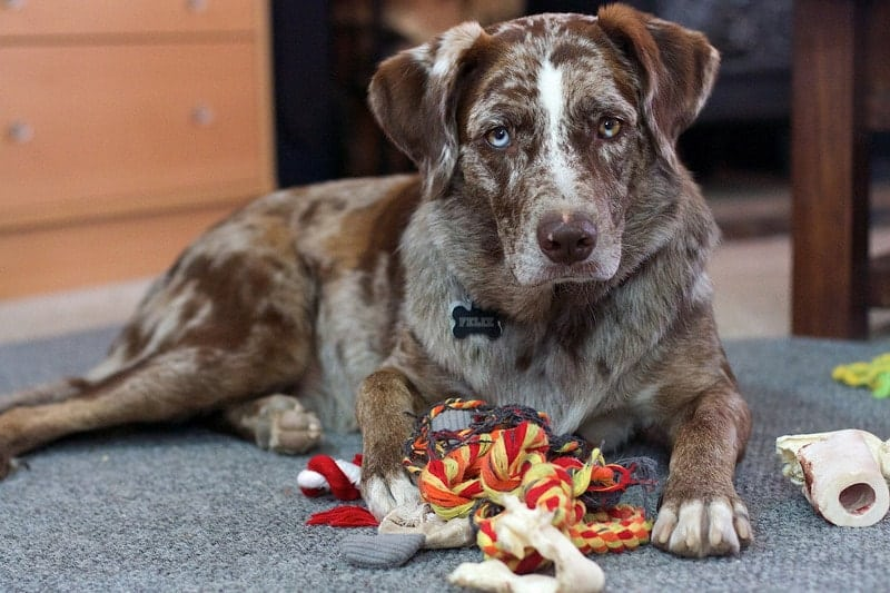 A Dog Indoors surrounded by toys