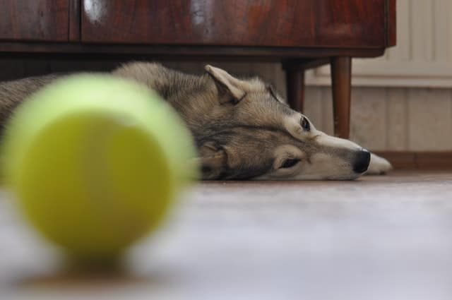 dog relaxing on the floor with his ball