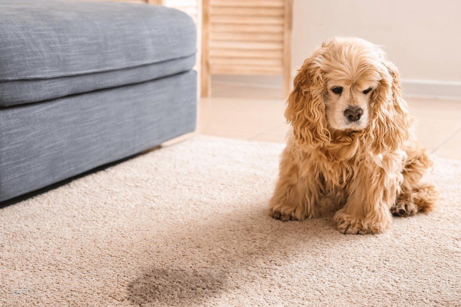 dog looking over dog pee on carpet