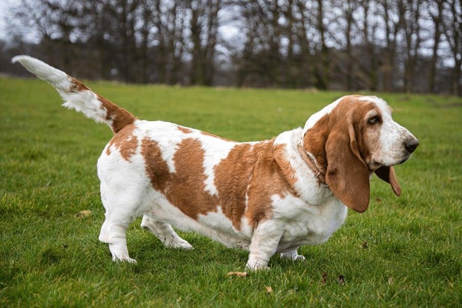 Basset hound standing on grass