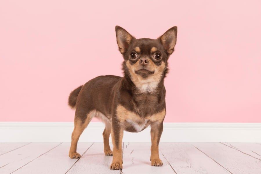 Chihuahua posing