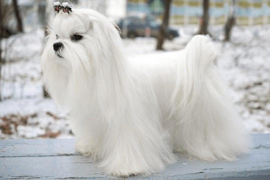well grommed Maltese dog