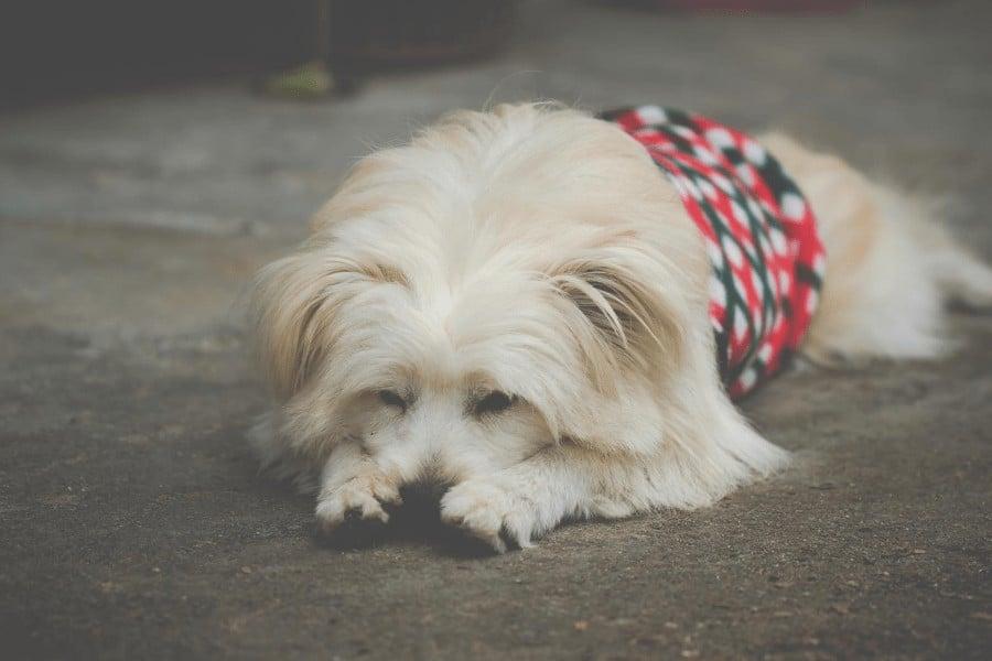 board dog resting