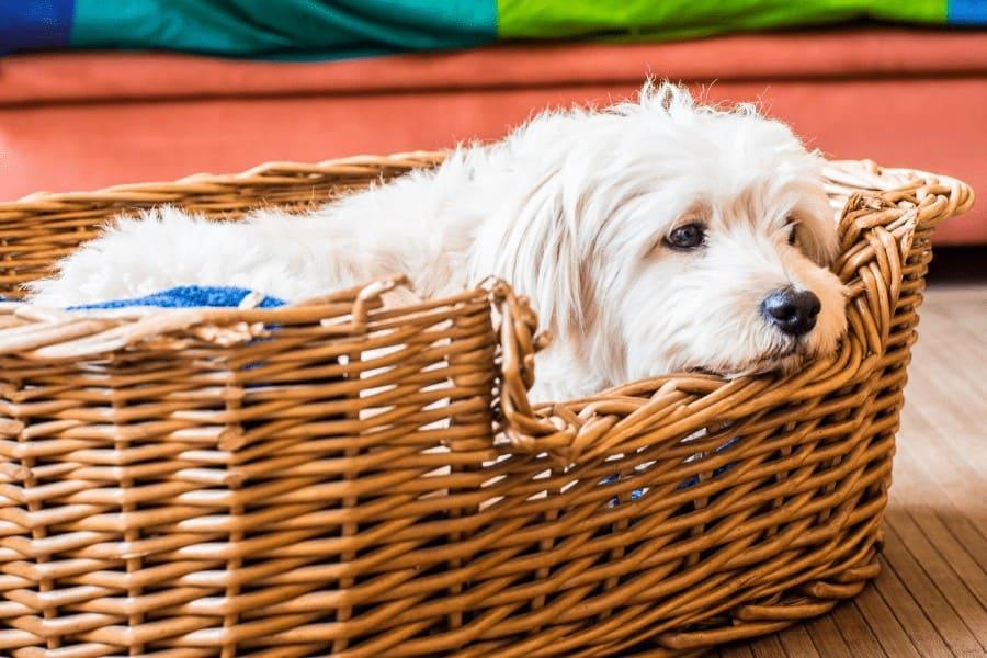 white fur dog in a basket